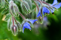 Bourrache / Borage